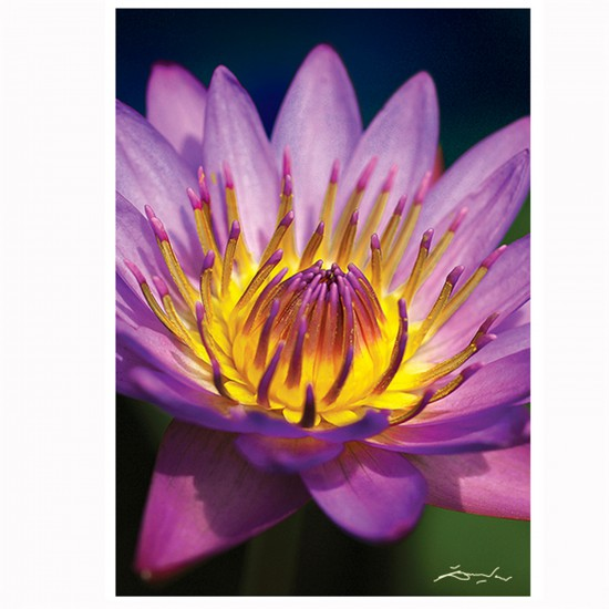 Puzzle 1000 pièces : Nature Limited Edition : Nénuphar - Trefl-10502